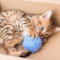 ベンガル猫のブログ17選!人気の子猫が大集結