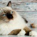 大型猫を飼う時の注意点