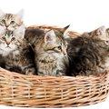 サイベリアンの子猫の迎え方や育て方とは