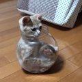 【ここがお気に入りだニャ♪】激撮!子猫の瓶詰め!