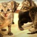 必死に鳴く姿がたまらない♡小さな猫ちゃんの貴重な鳴き声