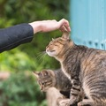 猫の先祖「リビアヤマネコ」イエネコとの違いとは