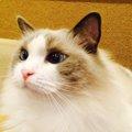 ラグドールがいる猫カフェ4選!お店の特徴、アクセス方法