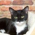 タキシード猫とは。フォーマルな毛色が魅力的なニャンコたち