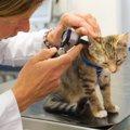 猫の耳の中は掃除をしたほうがいいの?正しい耳掃除の方法や注意点