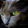 ロシアンブルーの目の色の特徴!ブルーからグリーンに変化する理由とは
