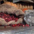 猫はクランベリーを食べても大丈夫?尿路結石予防の真偽やサプリの紹介