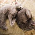灰色の猫の種類とそれぞれの特徴