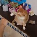 猫に手品を見せるとこうなる!固まる猫ちゃん