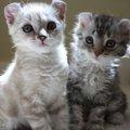 モハーベボブってどんな猫?特徴や性格飼い方について
