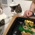 おいしそうだなー!ママさんのお寿司を狙う親子猫!