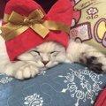 猫界のテディベア!ラガマフィンとの暮らしで気をつけたい7つのこと