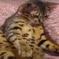 ゴロ〜ン、クネクネ♪飼い主さんに可愛くおねだりする猫ちゃん♡