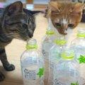 猫ちゃんがペットボトルを気に入った瞬間を目撃!