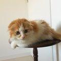 顔の模様がまるで隈取り!?歌舞伎猫のスコティッシュフォールド「五…