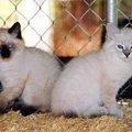 オイイーボブってどんな猫?特徴や性格、お迎えする方法