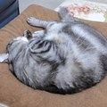 お気に入りクッションの上で猫ちゃんのニャルマジロ寝♪