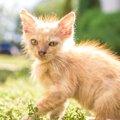 猫伝染性腹膜炎(FPI)とは?感染経路から症状の治療法まで