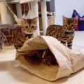 米袋で遊ぶ!楽しいベンガル猫一家