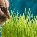 猫草を食べる理由と3つの効果