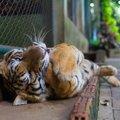 猫と虎の4つの共通点と違う所