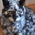 白黒のマーブル柄の猫「スクラッピー」