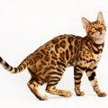 ベンガル猫の価格について