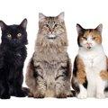 世界一美しい猫はどれだ!猫好き必見の4匹と美しい品種10選を一挙…