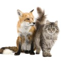 狐と猫は仲良し?それとも捕食対象なのか