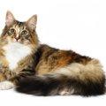 北欧の猫種ノルウェージャンフォレストキャット!歴史や性格