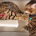 大好きな嫁猫さんの近くにいたい!アタックする夫猫さん!