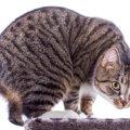 猫のヘルニアにはどんな種類があるの?原因や治療法は?