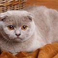 スコティッシュティッシュとは!ユニークでかわいい猫のフィギュアを…
