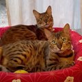 コタツベッドは乗って使うのがお気に入りな猫さんたち!