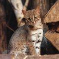 サビイロネコはペットにできる?大きさや性格、日本で見られる動物園…