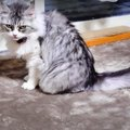 撮影成功!ツンデレ猫さんの一人遊びが可愛い♡