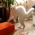 びっくりした猫ちゃん、思わず二足歩行で歩く!