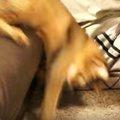 「笑うニャ!」ソファーからずり落ちた猫ちゃんの反応がかわいい♡