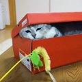 箱の中から飛び出るにゃ!ねこじゃらしに箱の中から手を伸ばす猫ちゃ…