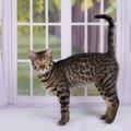 サバンナキャットはどんな猫?野生の血が入ったワイルドな猫なのです!