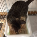 子猫が快適なトイレとは?ポイントは猫砂の大きさにあるのかも