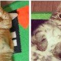 猫のなごむ「きなこ・なごむ」はどんな猫?人気な秘密や活躍