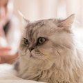 ペルシャ猫の飼い方の5つのポイント