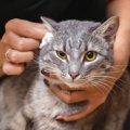 猫の耳垢が茶色い時に考えられる3つの原因や病気