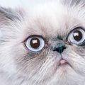 ペルシャ猫の特徴と性格、その毛色について