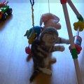 「これ全部僕のもの!」人間の赤ちゃん用オモチャで遊ぶ子猫