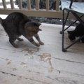 うひょー!にゃんだこれ!初めて雪をみた猫ちゃん舞い上がる