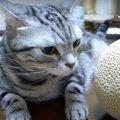 贅沢おやつ♡高級メロンにいちばん乗りする猫ちゃん