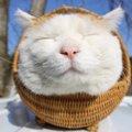 かご猫「シロちゃん」とはー海外でも話題な有名にゃんこについて