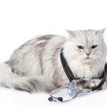 ペルシャ猫がかかりやすい病気とは?遺伝病から目の疾患まで